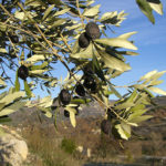 olives_mures