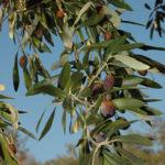 olives_tournantes