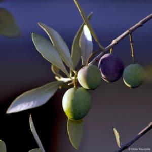 Didier_Rousselle_olives_quatuor_bicolores