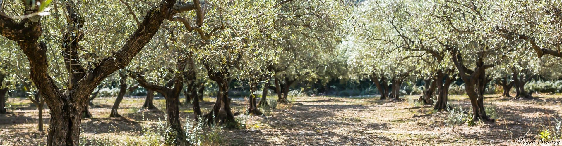 oliveraie-champ-olivier-france-soleil-cigales-provence-huile-olive-2