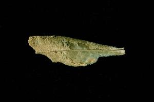 Feuille d'olivier en voie de fossilisation P-Andlauer n°00862-2293-B4
